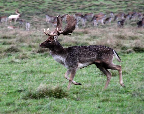 Deer in park north of Copenhagen