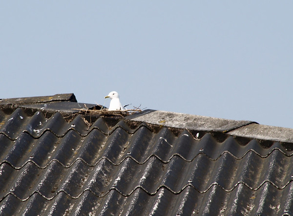 Seagull family