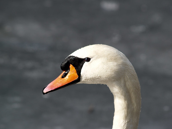 Swans in the winter